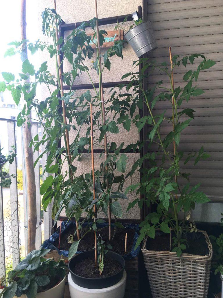 Tomatenpflanzen-Balkon