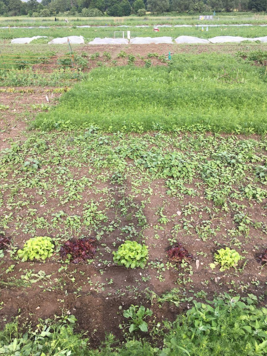 Die Salatköpfe sind schon gut groß geworden